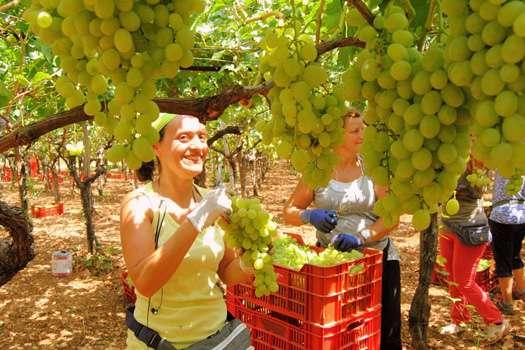 raccolta-uva-in-puglia